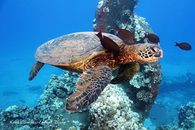 Sea-Turtle_Green_MalaWharfHI_9964