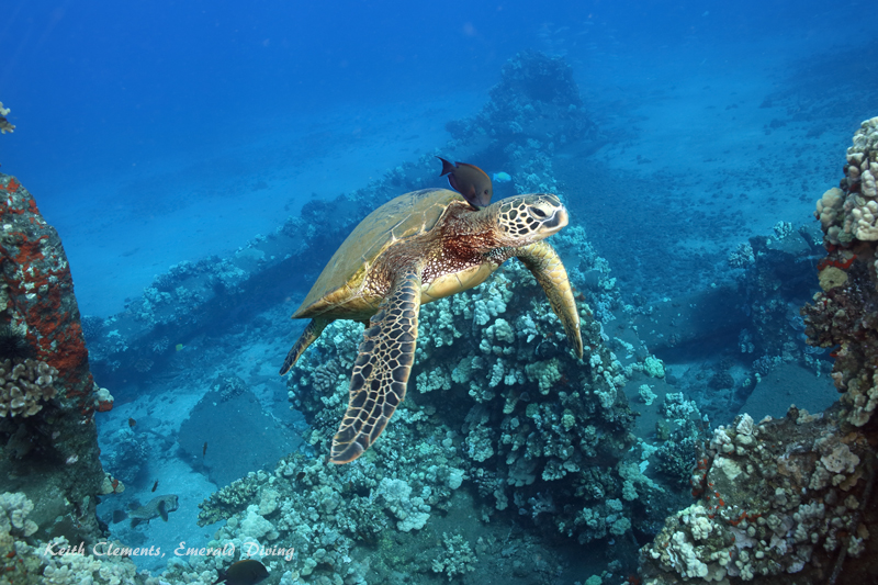 Sea-Turtle_Green_MalaWharfHI_9965