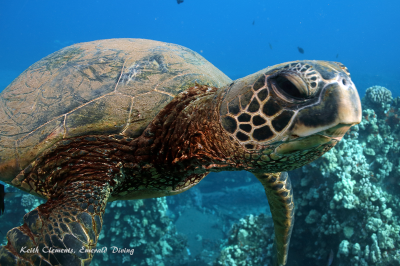 Sea-Turtle_Green_MalaWharfHI_9968