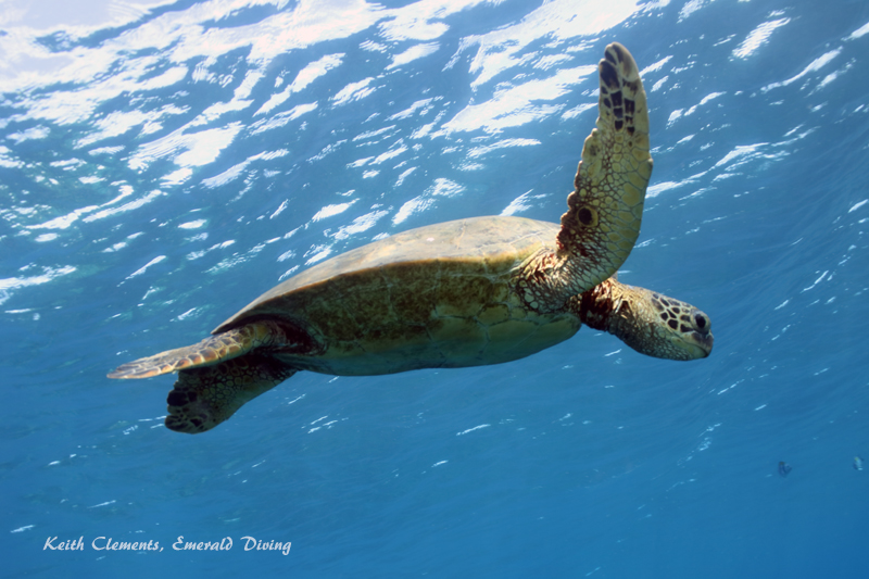 Sea-Turtle_Green_MalaWharfHI_9969