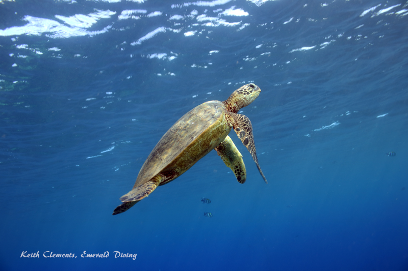 Sea-Turtle_Green_MalaWharfHI_9970