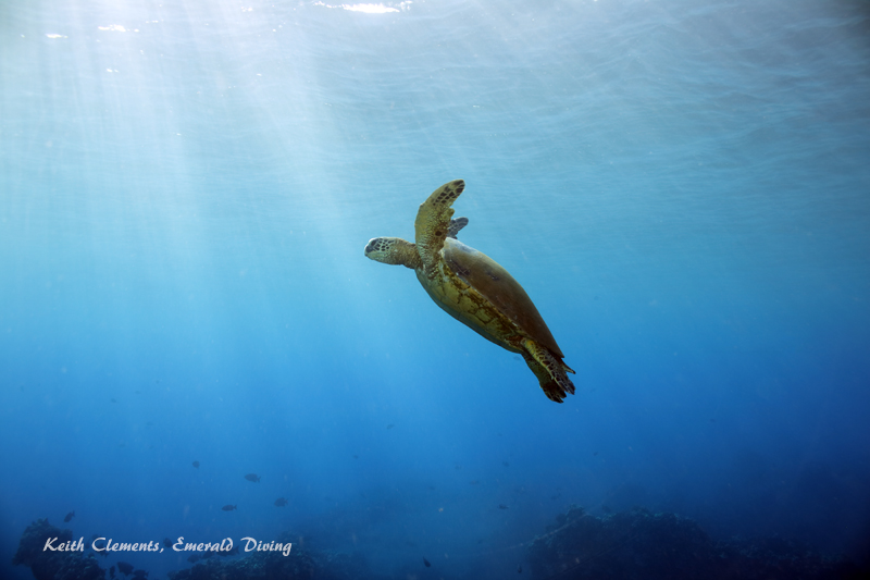 Sea-Turtle_Green_MalaWharfHI_9971