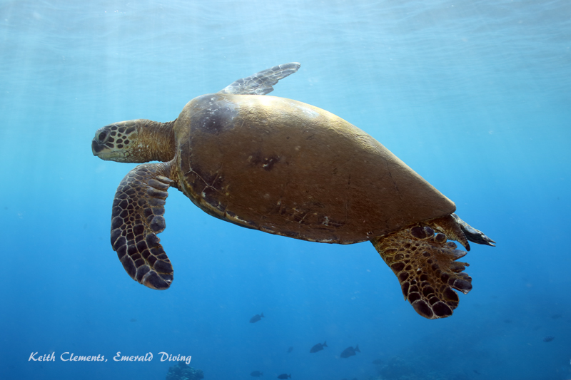 Sea-Turtle_Green_MalaWharfHI_9972