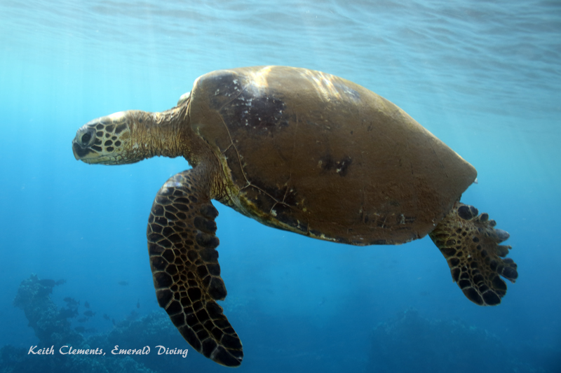 Sea-Turtle_Green_MalaWharfHI_9973