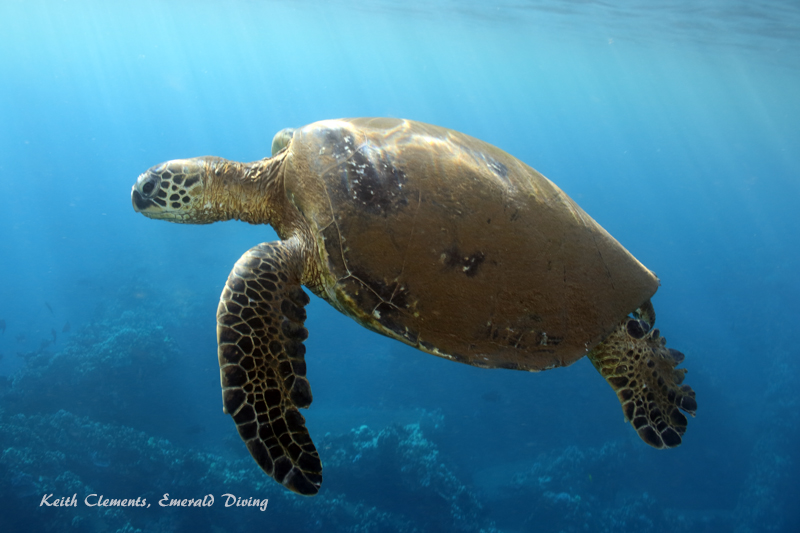 Sea-Turtle_Green_MalaWharfHI_9974
