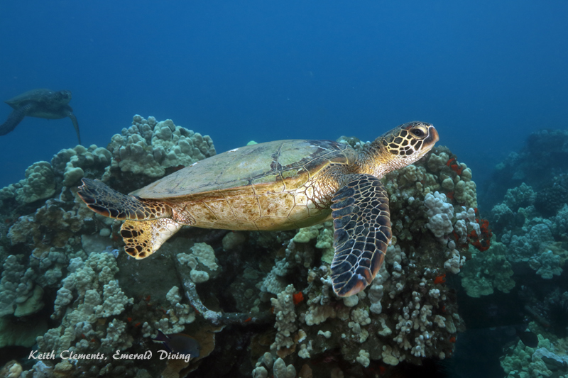 Sea-Turtle_Green_MalaWharfHI_9975