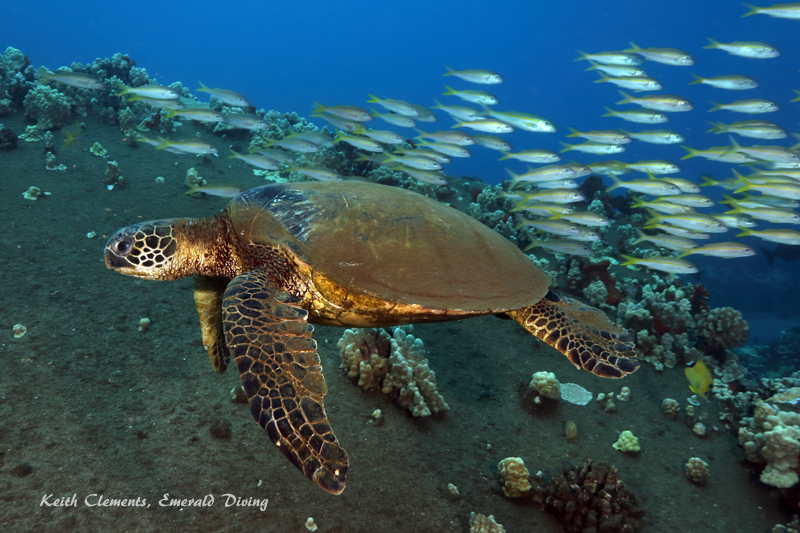 Sea-Turtle_Green_MalaWharfHI_9981