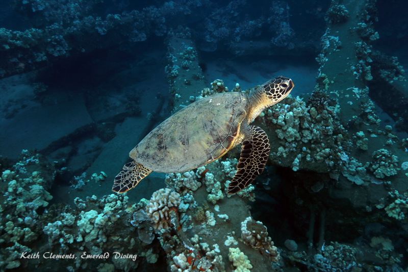 Sea-Turtle_Green_MalaWharfHI_9984