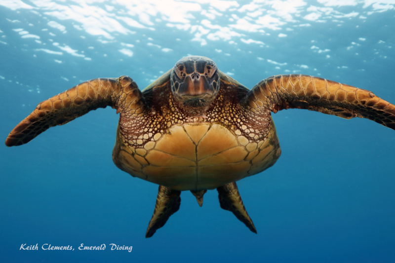 Sea-Turtle_Green_MalaWharfHI_9985