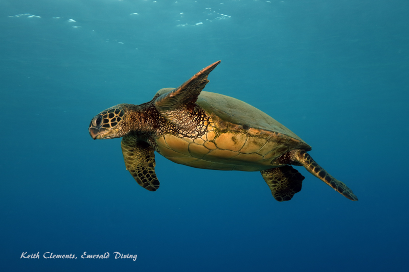 Sea-Turtle_Green_MalaWharfHI_9987