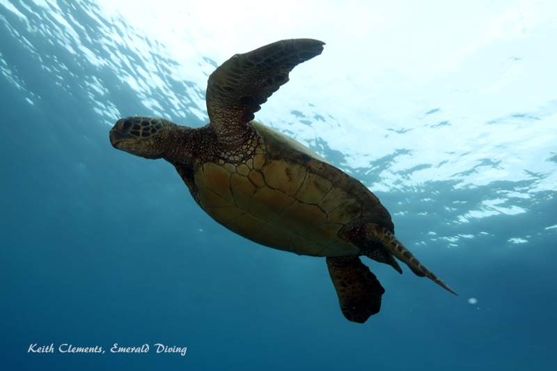 Sea-Turtle_Green_MalaWharfHI_9988