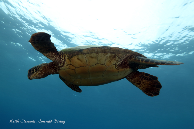 Sea-Turtle_Green_MalaWharfHI_9989