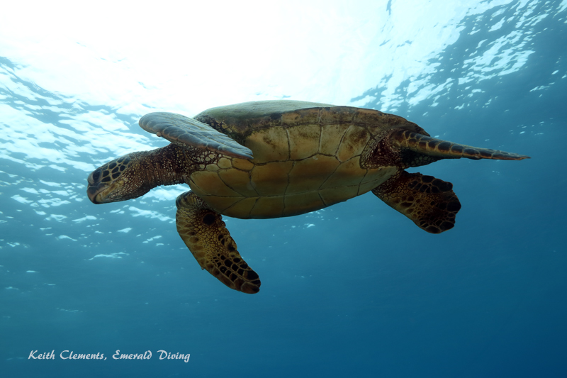 Sea-Turtle_Green_MalaWharfHI_9990