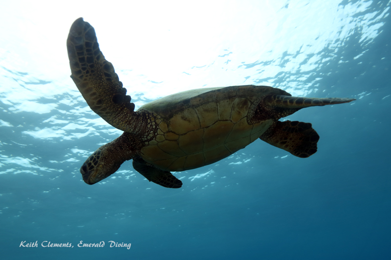 Sea-Turtle_Green_MalaWharfHI_9991