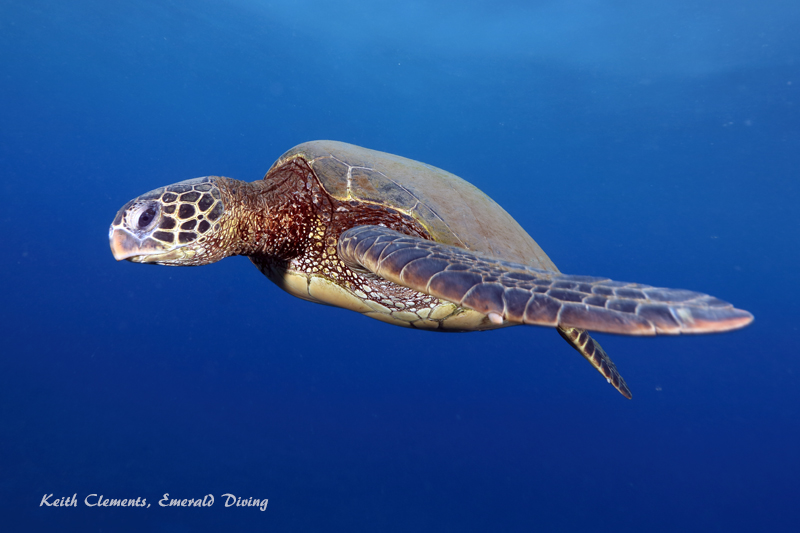 Sea-Turtle_Green_MalaWharfHI_9992