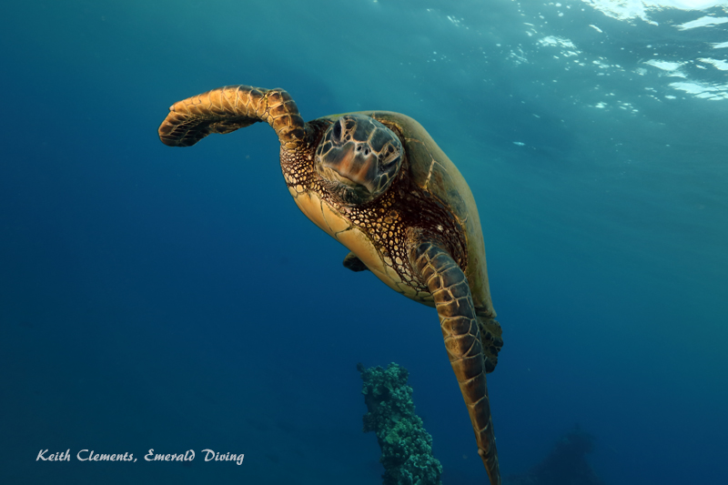 Sea-Turtle_Green_MalaWharfHI_9993