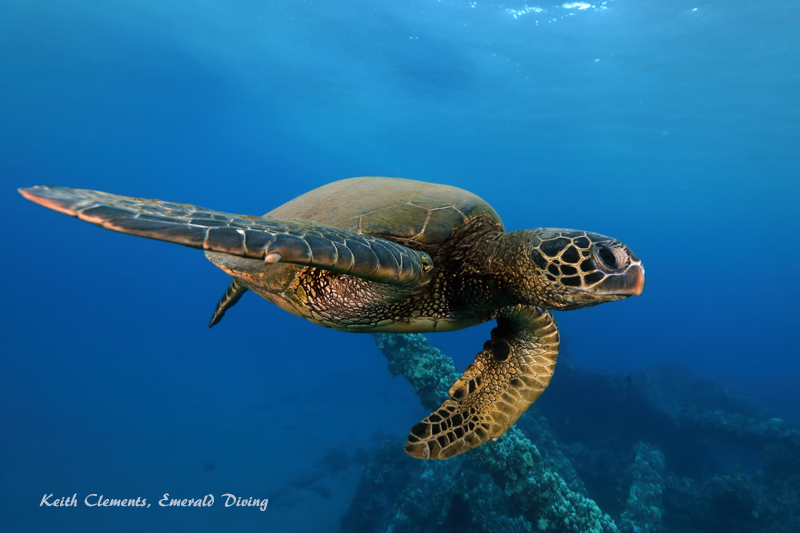 Sea-Turtle_Green_MalaWharfHI_9994