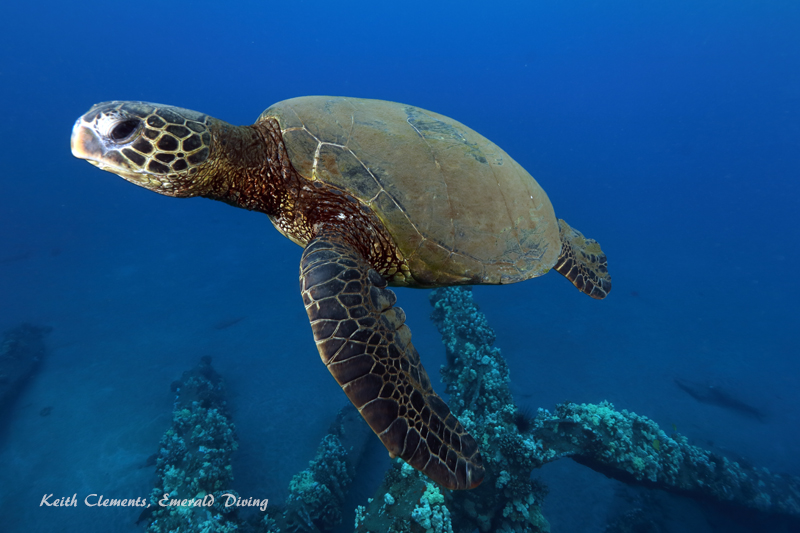 Sea-Turtle_Green_MalaWharfHI_9995