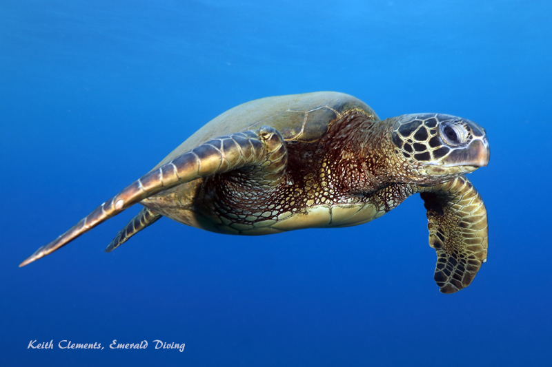 Sea-Turtle_Green_MalaWharfHI_9996