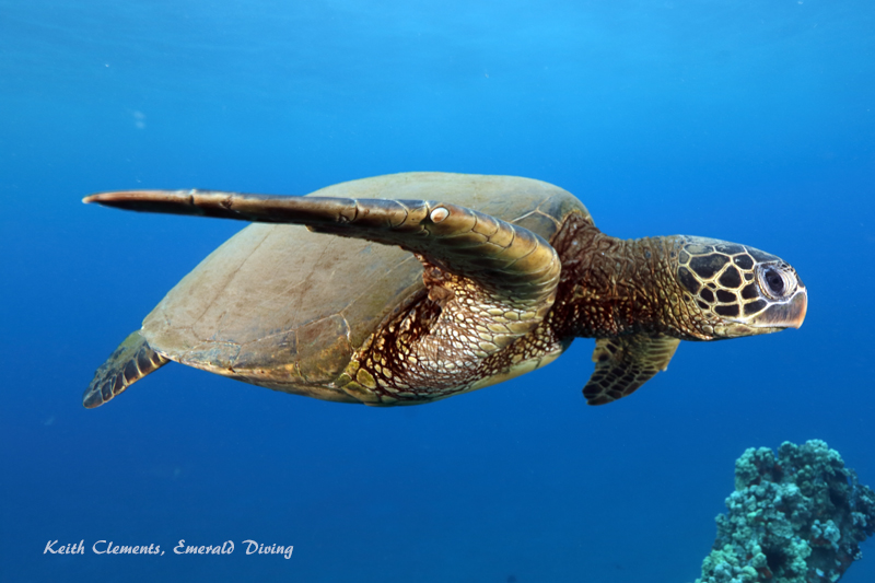 Sea-Turtle_Green_MalaWharfHI_9997