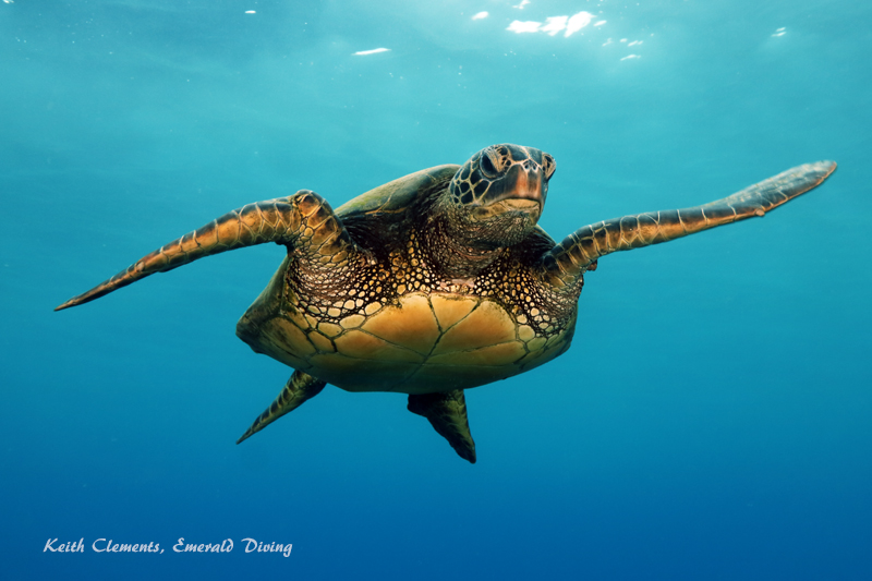 Sea-Turtle_Green_MalaWharfHI_9998