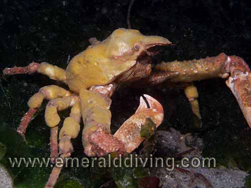 Sharpnose Crab