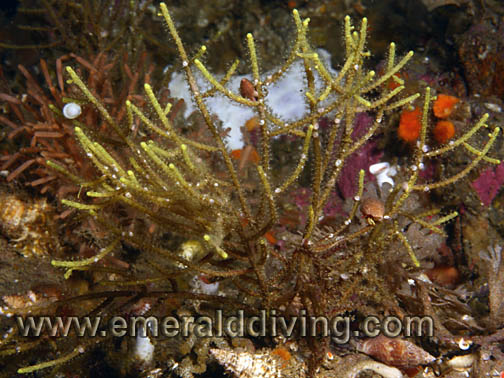 Spindly Embedded Hydroid