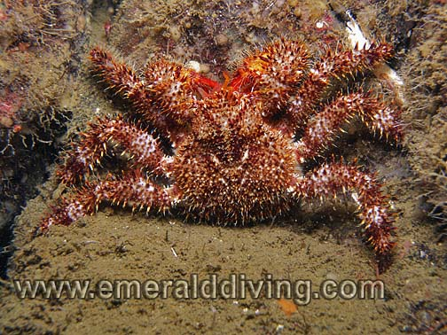 Spiny Lithoid Crab