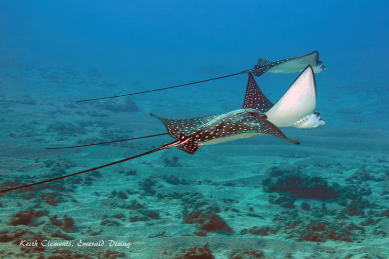 Spotted-Eagle-Ray_AirportMaui16_5442