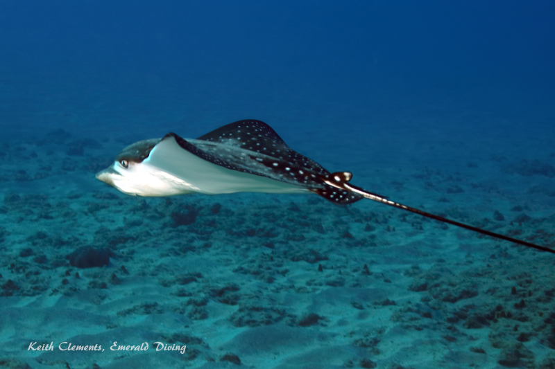 Spotted-Eagle-Ray_AirportMaui16_5444