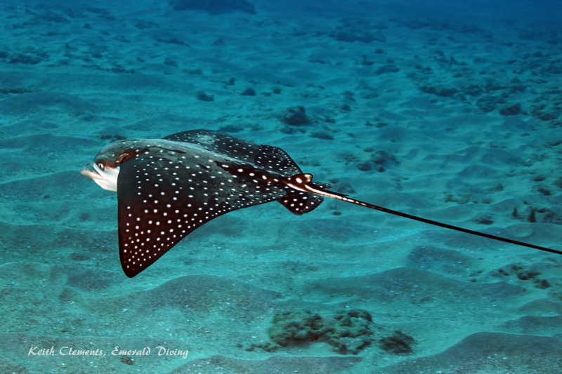 Spotted-Eagle-Ray_AirportMaui16_5446