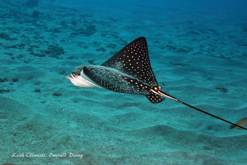 Spotted-Eagle-Ray_AirportMaui16_5447