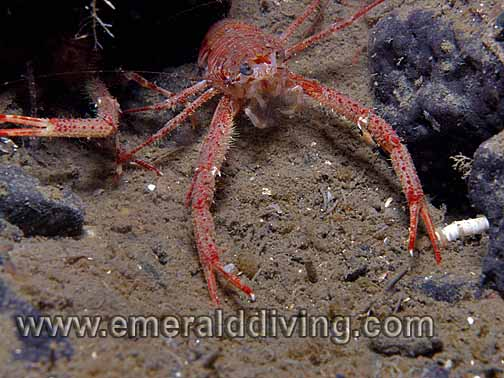 Squat_Lobster