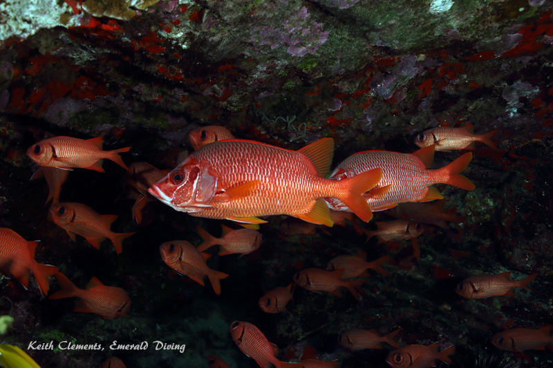Squirrelfish_Longjaw_BackwallMaui16_5103