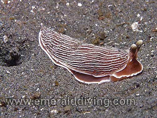 Striped Nudibranch