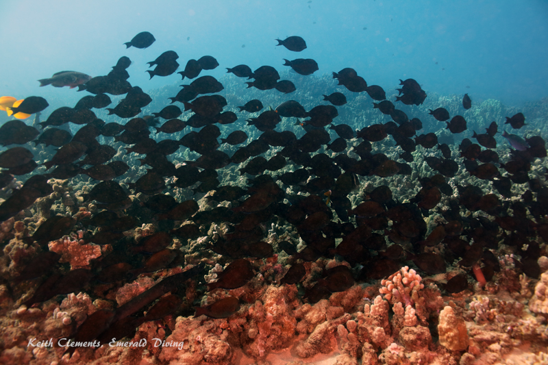 Surgeonfish_Brown_AirportMaui16_5331