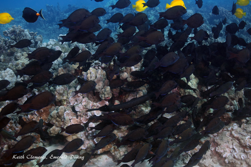 Surgeonfish_Brown_AirportMaui16_5336