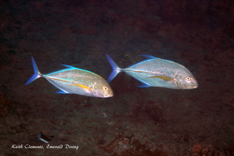 Trevally_Bluefin_AirportMaui16_5509