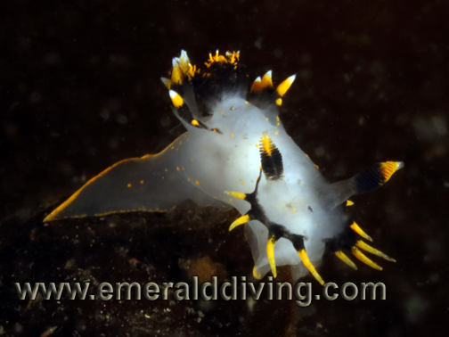 Tricolored_Nudibranch