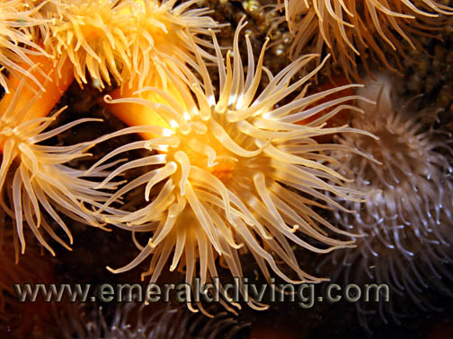 Undescribed Anemone
