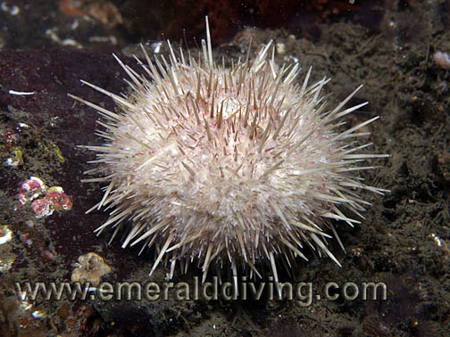 White Sea Urchin