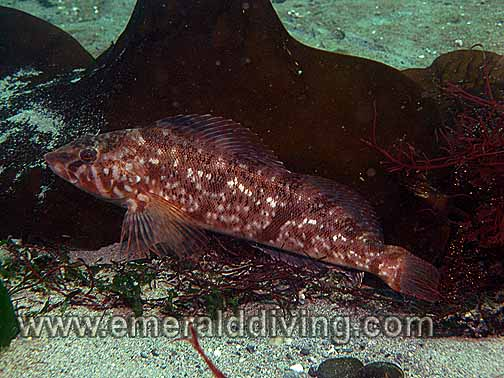 White Spotted Greenling