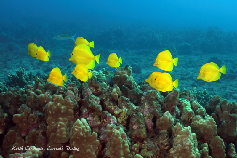Yellow-Tang_AirportMaui16_5458