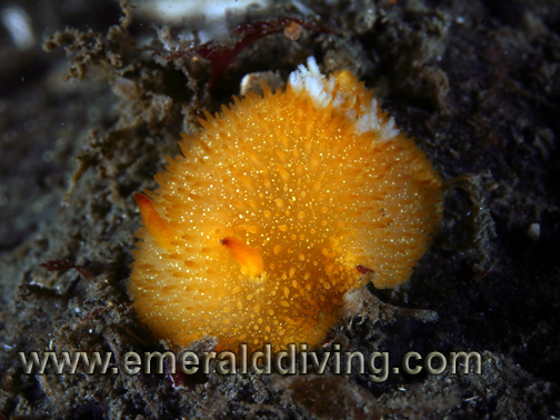 Yellow_Dorid